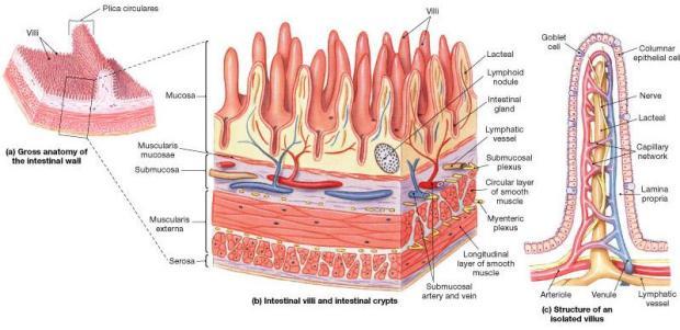 Image result for villi gut